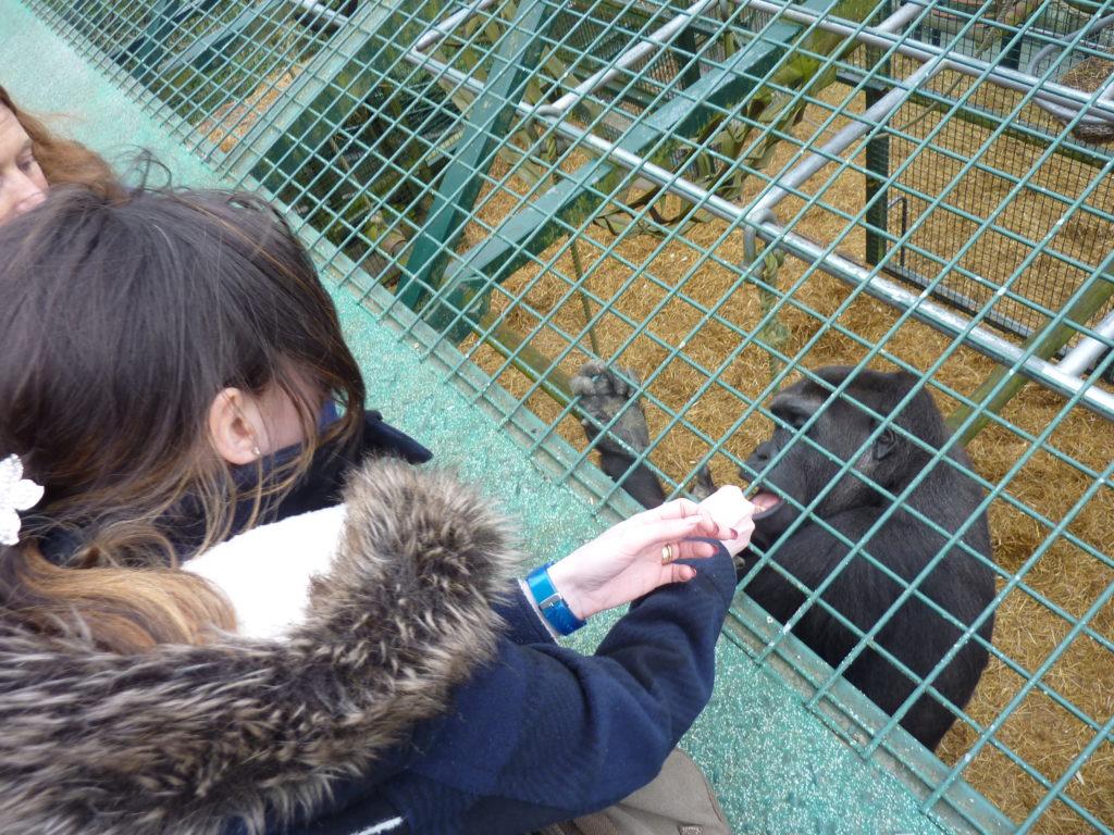 Romantic Kent Port Lympne Wild Animal Park Gorilla Encounter