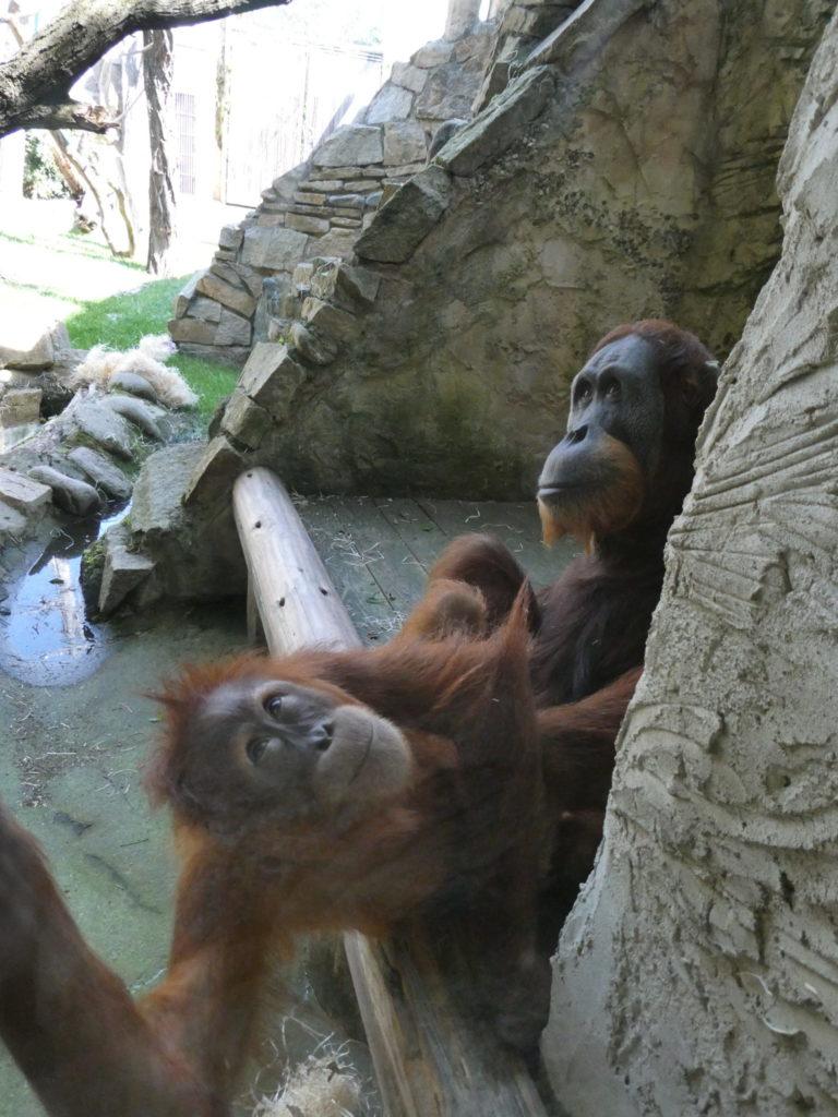 Prague Zoo Czech Republic - Orangutans