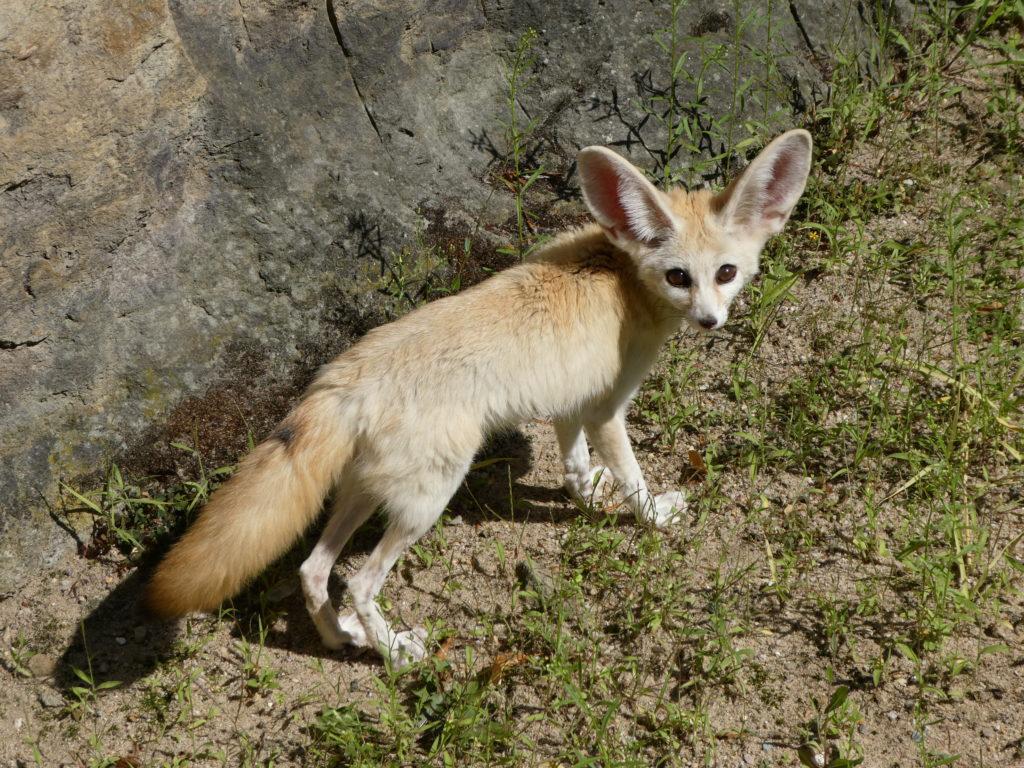 Prague Zoo Czech Republic - Fennec Fox