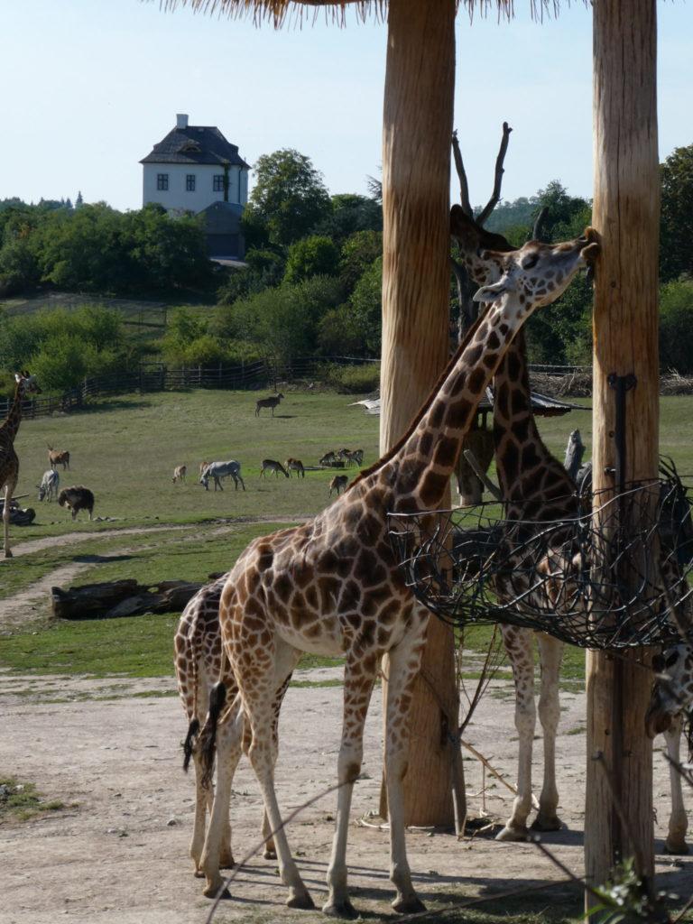 Prague Zoo Czech Republic - Giraffes