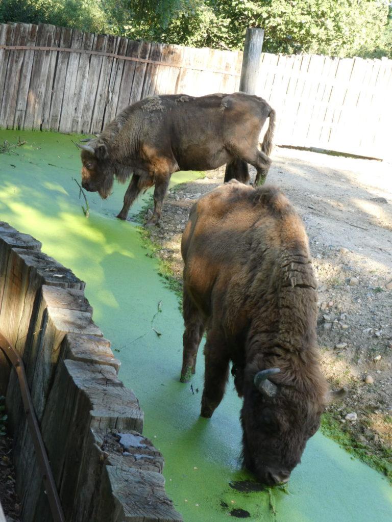 Prague Zoo Czech Republic - European Bison