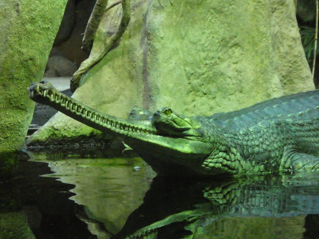 Prague Zoo Czech Republic - Gharial Crocodile