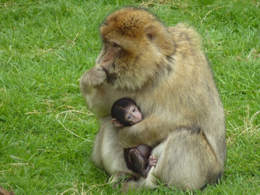 Trentham Monkey Forest Stoke-on-Trent Staffordshire - Barbary Macaque